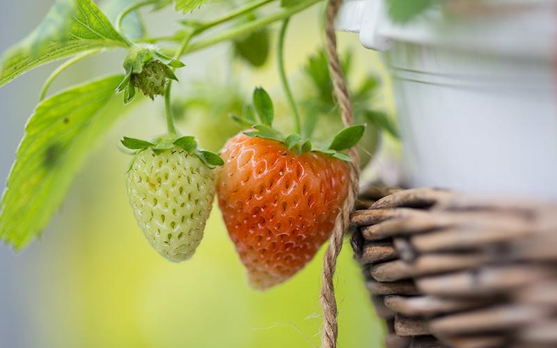 Grüne und rote Erdbeere