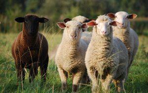 Vier weiße Schafe und ein schwarzes Schaf